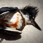 Dead Belted Kingfisher on the sidewalk