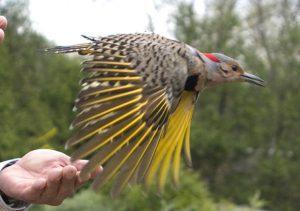 Bird being released