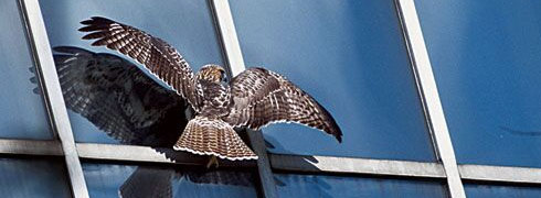 Hawk Collides with Office Building