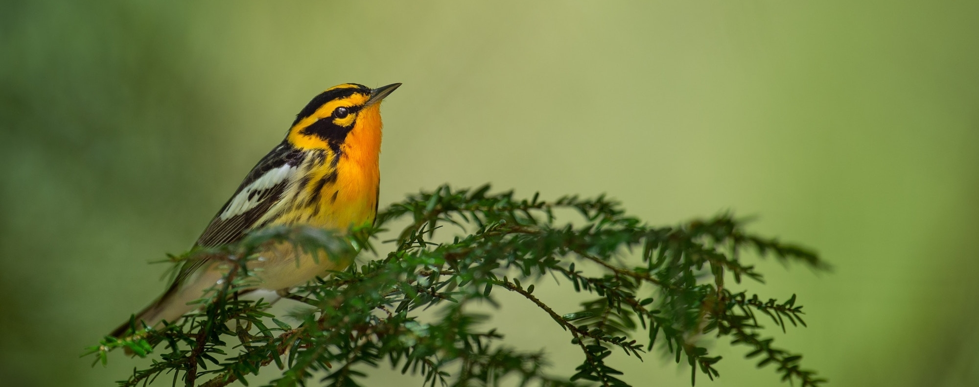 Warbler on a branch