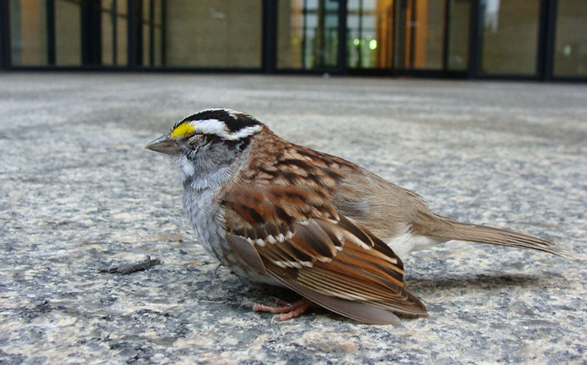 Stunned White Throated Sparrow