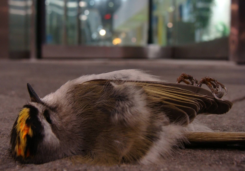 Dead Golden-crowned Kinglet