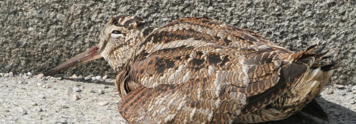 Injured Woodcock