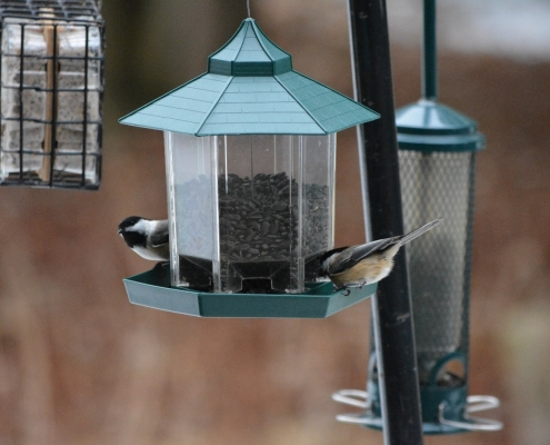 Two black-capped chickadees at a feeder