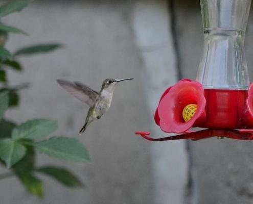 female ruby-throated hummingbird at bird feeder