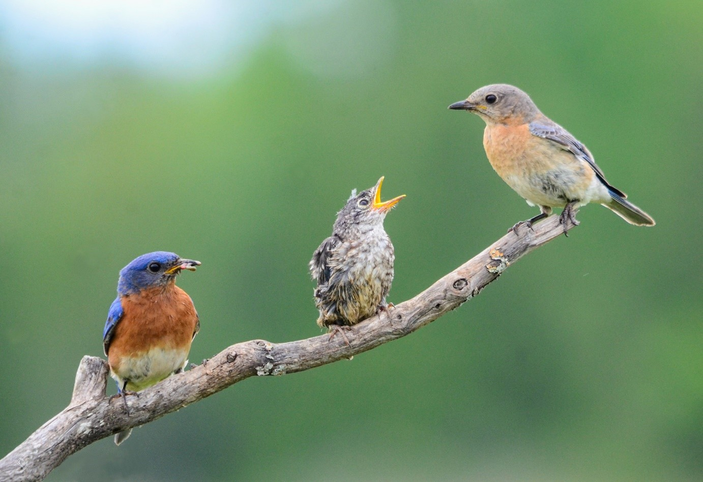 male and female eastern bluebird with baby
