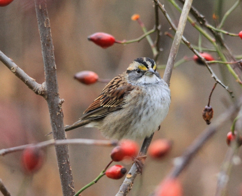 White-throated sparrow on tree