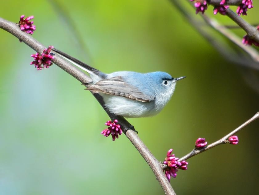 blue-gray gnatcatcher on branch